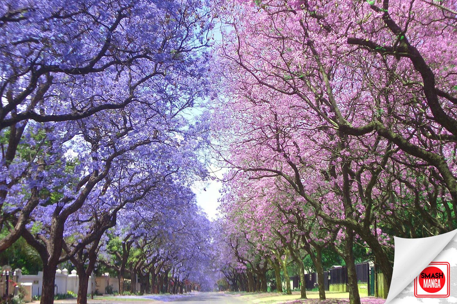Arbol De Cerezo Japones cuál es el parecido entre las flores de sakura y las jacarandas?